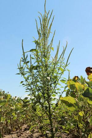 The Palmer amaranth weed is pictured in Harrison County in this handout photo