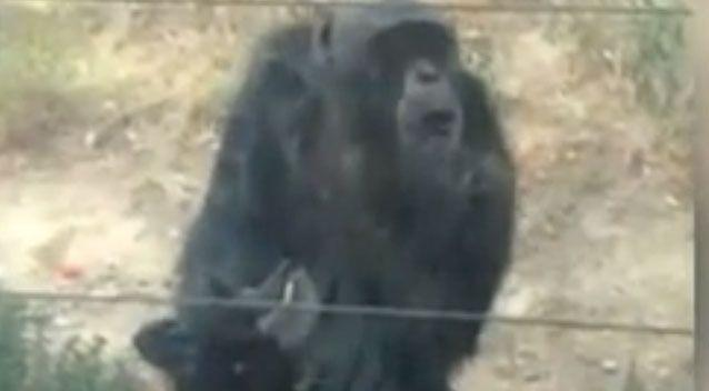 A group of tourists could be heard laughing as they watched the chimp in the enclosure. Photo: Youtube