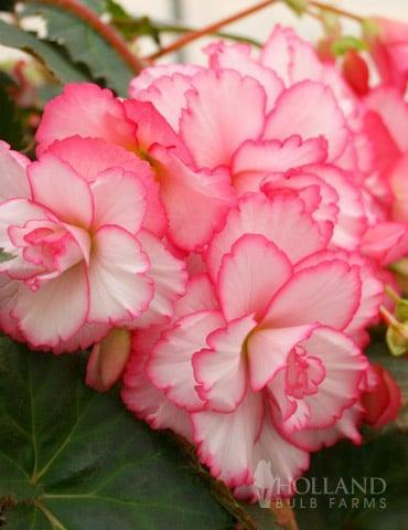 <p>Start planting this <span>Begonia</span> ($4, originally $15) indoors in late February if you want to enjoy earlier summer blooms!</p>