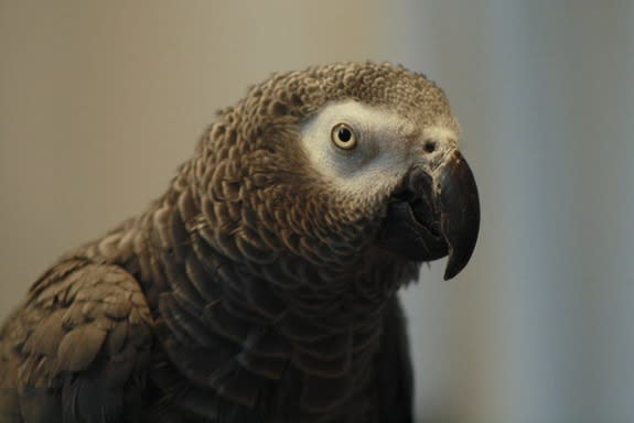 African Grey Parrots show reasoning abilities similar to 3 year-old kids.