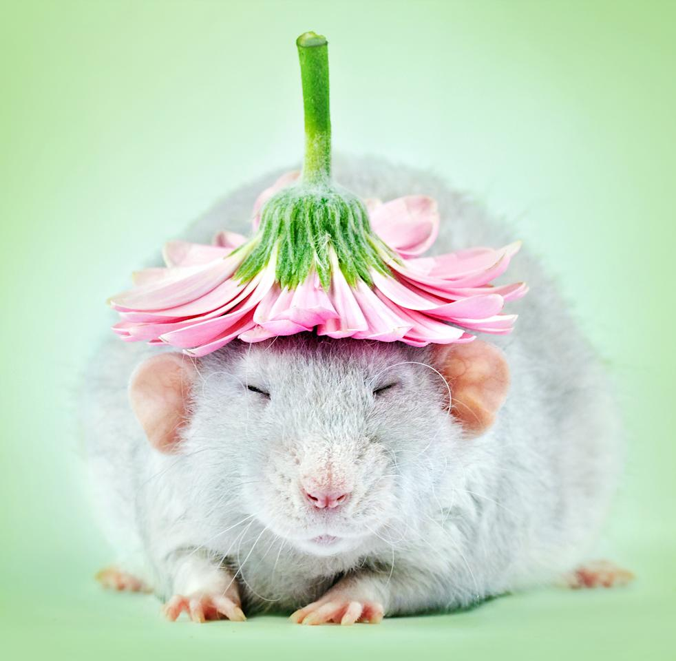 <p>A committed photographer who'€™s made it her mission to remove the stigma attached to the creatures took these adorable rat portraits. (Diane Ozdamar/Caters News) </p>