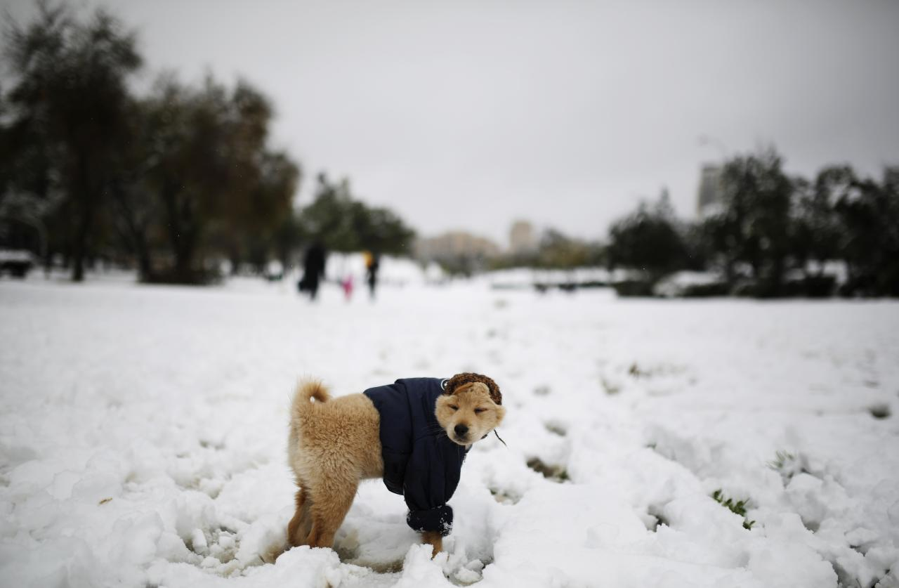 A dog stands in the snow at a park in Jerusalem December 12, 2013. Snow fell in Jerusalem and parts of the occupied West Bank where schools and offices were widely closed and public transport was paused. REUTERS/Amir Cohen (JERUSALEM - Tags: ENVIRONMENT ANIMALS TPX IMAGES OF THE DAY)