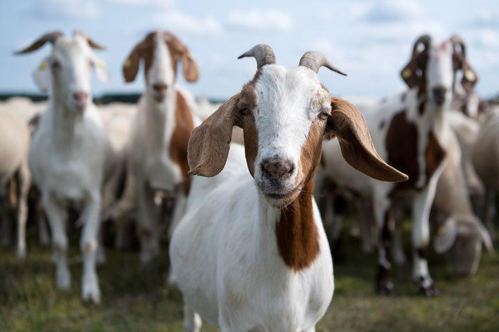 Goats like it best when you smile, new research shows