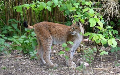 Lilleth, the escaped lynx, who was killed  - Credit: WALES NEWS SERVICE