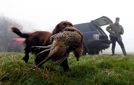 FILE PHOTO: A Springer Spaniel retrieves a pheasant during a pheasant hunt in Stokenchurch, southern England December 11, 2012. REUTERS/Eddie Keogh/File Photo