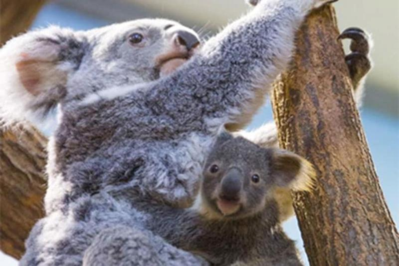Koalas Rescued during Australian Bushfire are Now Being Released into the Wild