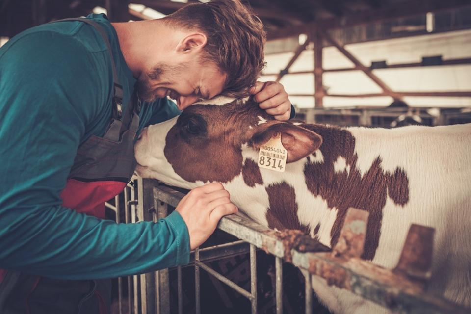 Cow and young male farmer
