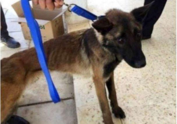 PHOTO: After a year working in Jordan, a U.S.-provided bomb-sniffing dog named Athena became emaciated, seen here in April 2018. (US State Department)