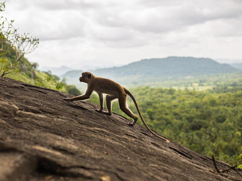 In many areas of India monkeys and humans live in close proximity and attacks are relatively common: Getty