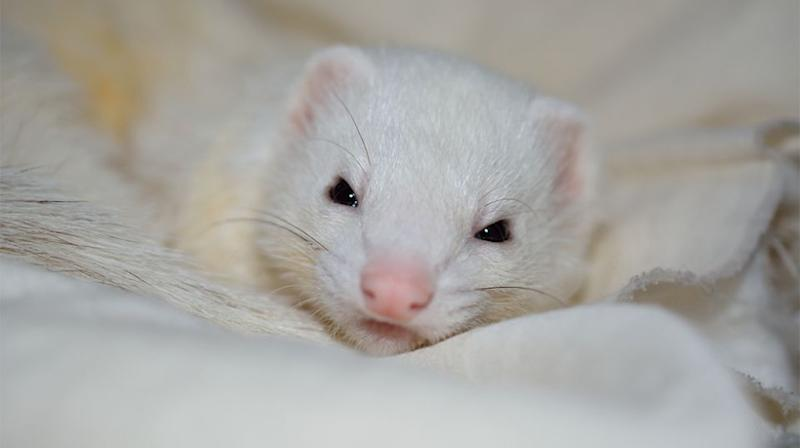 The rogue ferret made its way into her bed and latched onto her cheek. Source: Stock image / Getty