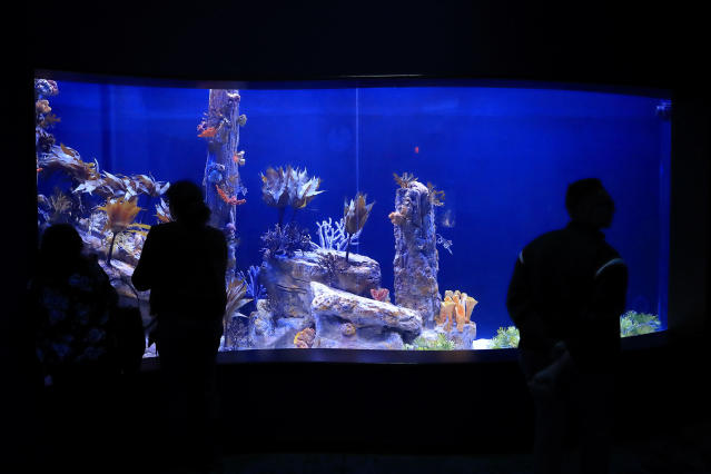 In this Friday, May 17, 2019 photo, visitors look at a tank holding sea dragons at the Birch Aquarium at the Scripps Institution of Oceanography at the University of California San Diego in San Diego. The Southern California aquarium has built what is believed to be one of the world's largest habitats for the surreal and mythical sea dragons outside Australia, where the native populations are threatened by pollution, warming oceans and the illegal pet and alternative medicine trades. (AP Photo/Gregory Bull)