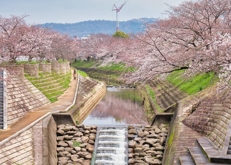 When in full bloom, the flowers dye the surface of the river pink