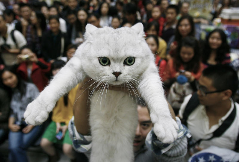 FILE - In this Saturday, Oct. 22, 2011 file photo, a man holds up his pet cat during a cat show in Wuhan in central China's Hubei province. In a report released Monday, Dec. 16, 2013 by the Proceedings of the National Academy of Science, scientists say they've caught cats in the act of going through a key stage in domestication, with the evidence in 5,300-year-old bones from China. The Chinese animals are not the ancestors of today's housecats, whose family tree reaches back to domestication in the Near East instead. But the work gives support for the leading theory of just how wild animals took the first steps toward becoming our familiar pets. (AP Photo, File)