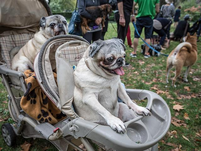 <p>When youre beautiful, you get perks. These upper-west-side Pugs take their owners out for some exercise. (Photo: Mark McQueen/Caters News) </p>