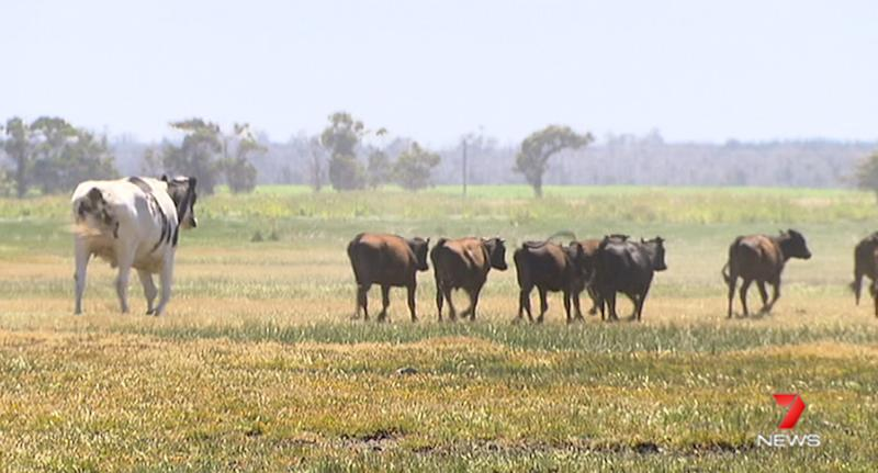 Australia S Biggest Cow Stands At 6ft 4in Tall