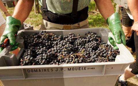 Chateau Petrus Grape Harvest - Credit:  Owen Franken/Corbis Documentary