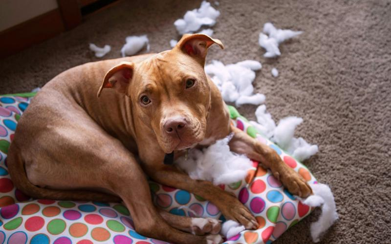 Dog looking guilty on ripped dog bed - Credit: Alamy