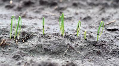 Young onion plant seedlings.