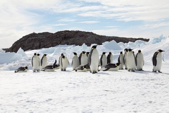 A group of emperor penguins waddles across sea ice in Terre Adélie in East Antarctica. These penguins rely on the ice, which is melting as the planet warms, for breeding and raising their young.