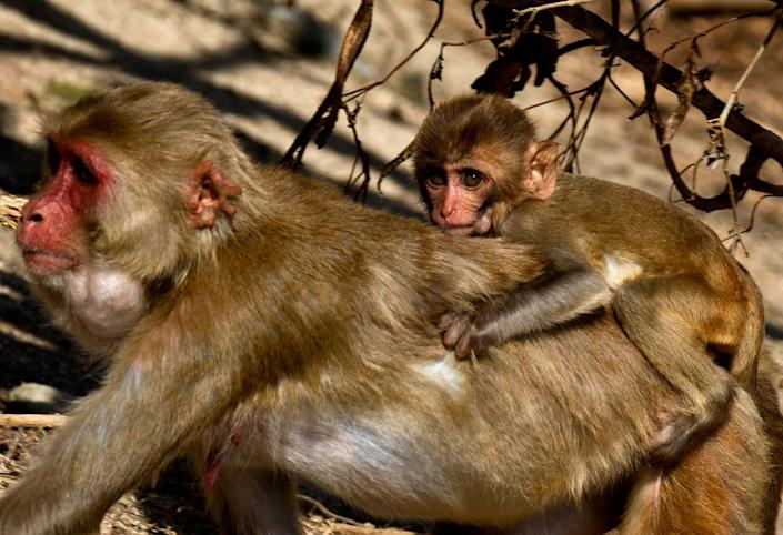 <p>A female monkey carries her baby on her back on Cayo Santiago, known as Monkey Island, in Puerto Rico on Oct. 4, 2017. Every animal born on the island is tattooed for easy identification, and the skeleton of every one that has died over nine generations has been saved for future reference. (Photo: Ramon Espinosa/AP) </p>