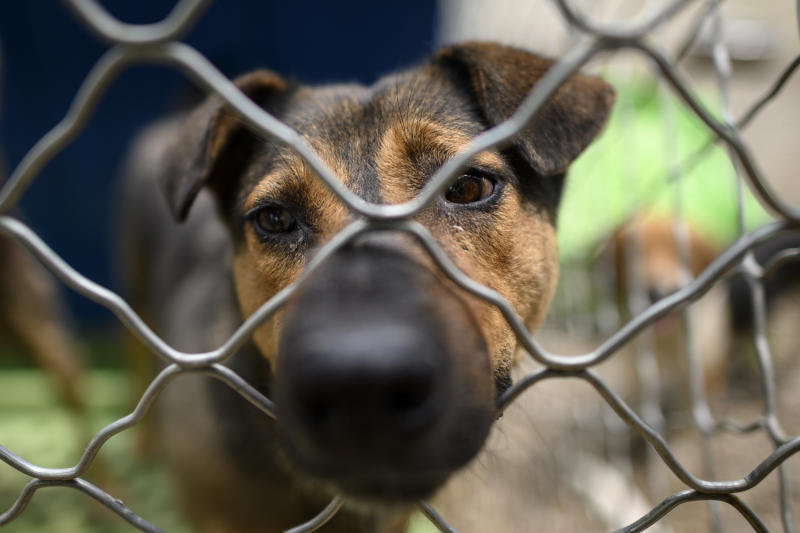 In recent months No Dogs Left Behind received many purebred dogs from breeding farms that have been dumped due to lower consumer demand for pets during the COVID-19 coronavirus epidemic. Source: AFP