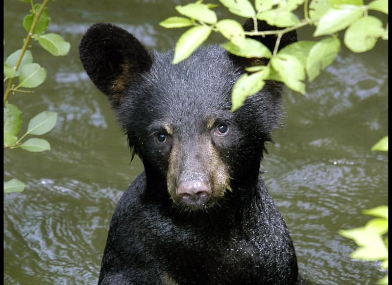 This July 2011 photo provided by the Appalachian Bear Rescue shows a cub at the center in Townsend, Tenn. The Appalachian Bear Rescue is the only place in the Southeast where orphaned black bears get a shot at survival. (AP Photo/Appalachian Bear Rescue)