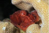 """<p>Nestled in among the coral she looks practically massive, but according to Octolab.tv, the cephalopod <a href=""""https://octolab.tv/species/wolfi-octopus/"""" rel=""""nofollow noopener"""" target=""""_blank"""" data-ylk=""""slk:measures about once inch, and weighs about one gram"""" class=""""link rapid-noclick-resp"""">measures about once inch, and weighs about one gram</a>. They can be found in the Western Pacific Ocean around Tahiti. </p>"""