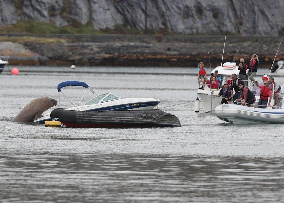 People attempt to coax Wally the arctic walrus from a speedboat it was resting in, to a less expensive rib craft, in Co Cork (Niall Carson/PA) (PA Wire)