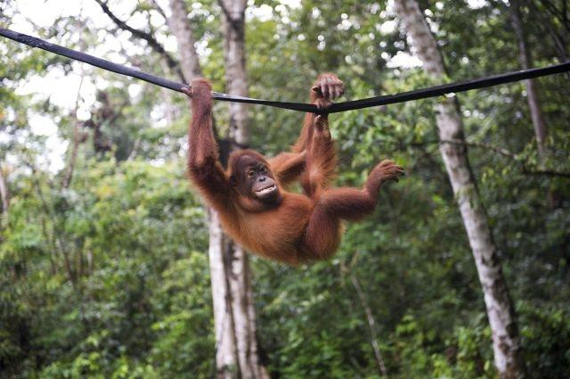 Less than 7,000 Sumatran orangutans remain in the world. Here, a Sumatran orangutan plays on a rope in Jantho Conservation area in Jantho, Aceh province of Indonesia