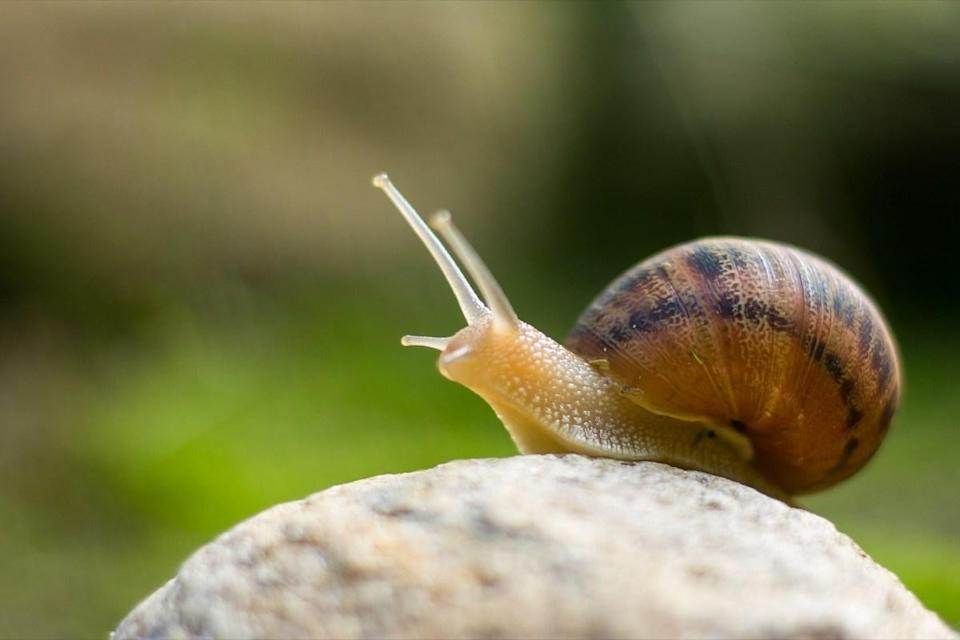 """Snails come across as relatively simple animals with <a href=""""http://www.sciencekids.co.nz/sciencefacts/animals/snail.html"""" rel=""""nofollow noopener"""" target=""""_blank"""" data-ylk=""""slk:notable features like shells and slime"""" class=""""link rapid-noclick-resp"""">notable features like shells and slime</a>. But some snail species have an unexpected attribute: They have a ribbon-like tongue and a jaw—called a radula—with <a href=""""https://nhm.org/stories/microscopic-look-snail-jaws"""" rel=""""nofollow noopener"""" target=""""_blank"""" data-ylk=""""slk:thousands of tiny teeth"""" class=""""link rapid-noclick-resp"""">thousands of tiny teeth</a> that allow the hungry critters to rip their food into manageable pieces, according to the Natural History Museum of Los Angeles."""