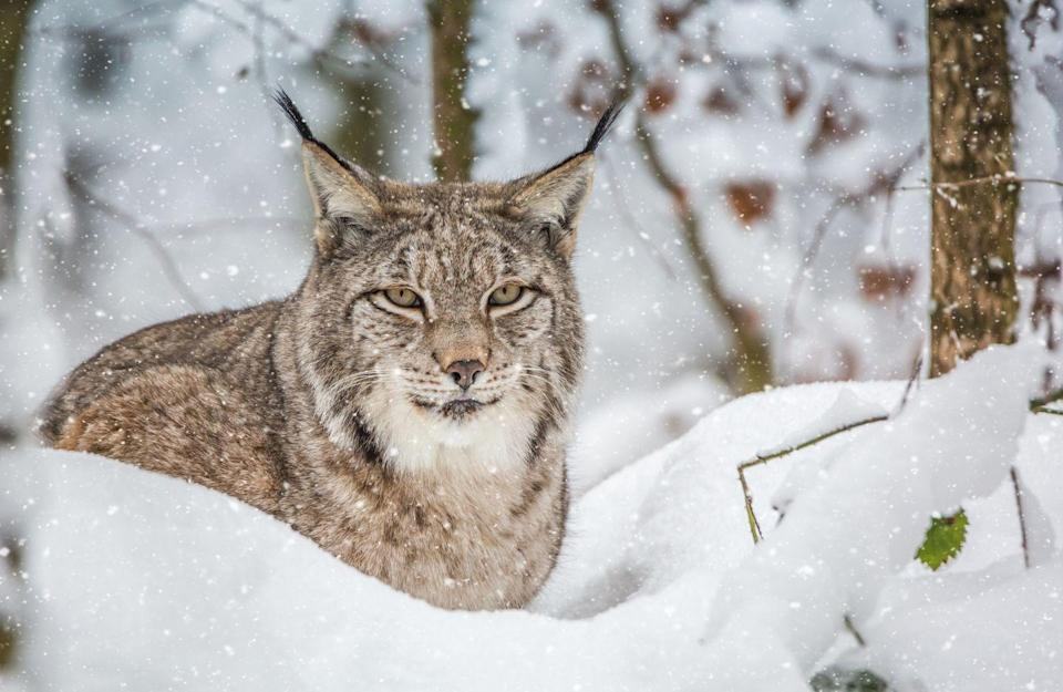 """<p>A lynx looks like a giant cat with pointy ears and is no stranger to the snow. These solitary cats can be found in the remote northern forests of North America, Europe, and Asia. Their <a href=""""https://go.redirectingat.com?id=74968X1596630&url=https%3A%2F%2Fwww.nationalgeographic.com%2Fanimals%2Fmammals%2Fgroup%2Flynx%2F&sref=https%3A%2F%2Fwww.countryliving.com%2Flife%2Fkids-pets%2Fg35195256%2Fphotos-of-animals-in-snow%2F"""" rel=""""nofollow noopener"""" target=""""_blank"""" data-ylk=""""slk:thick fur"""" class=""""link rapid-noclick-resp"""">thick fur</a> keeps them warm even when it's freezing outside, and their furry paws have a spreading toe motion that makes it easy for them to walk through even the most slippery of forest floors.<br></p>"""