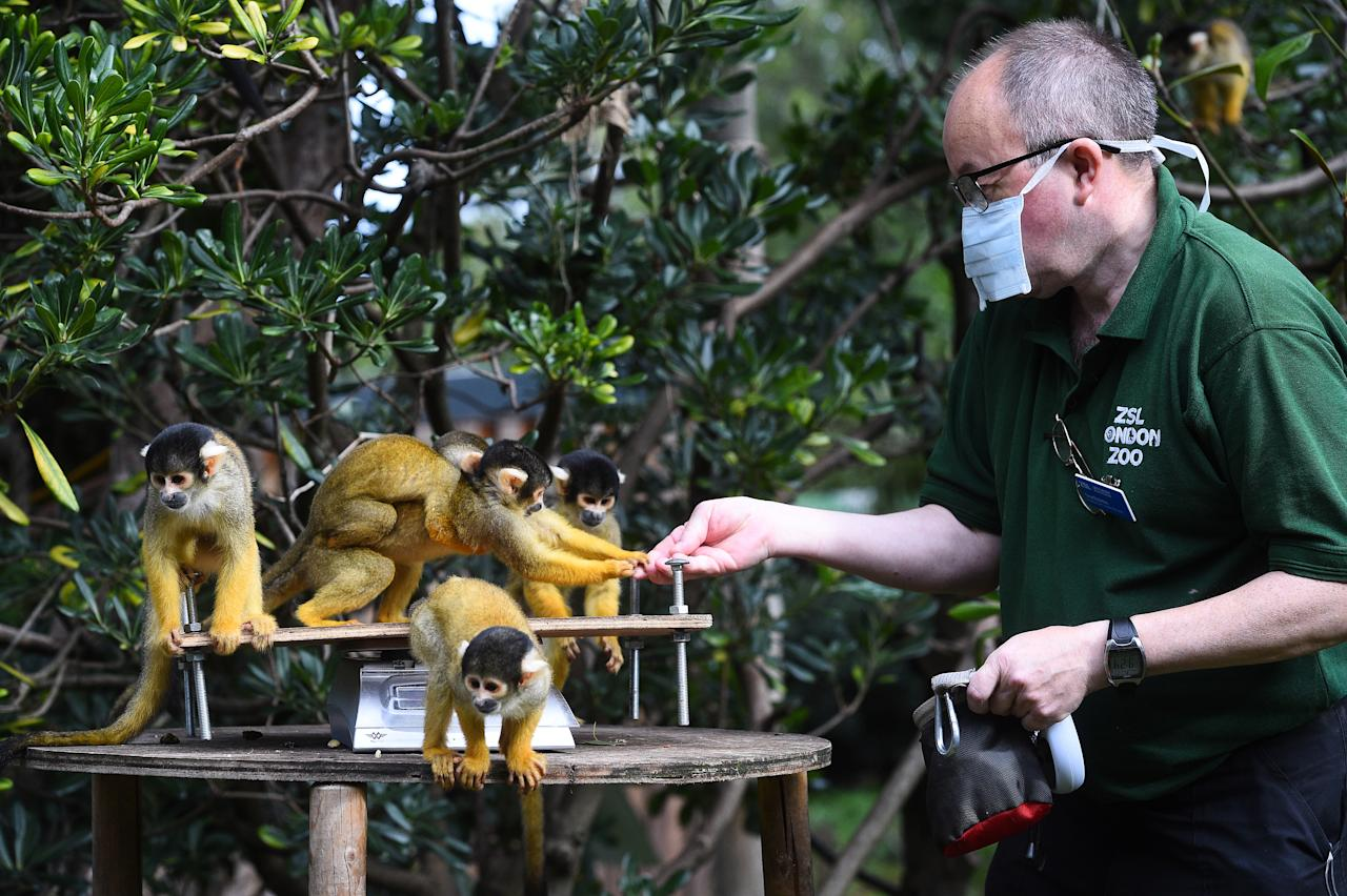 Senior keeper Tony Cholerton weighs squirrel monkeys, during the annual weigh-in at ZSL London Zoo, London.
