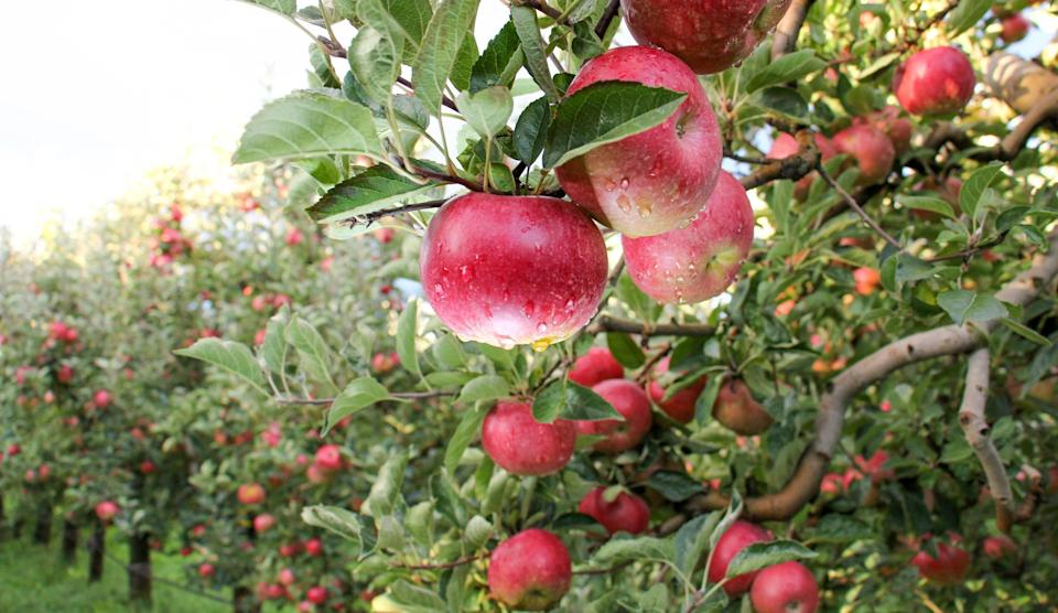 """<p>Apple season depends both on your region and <a href=""""https://www.thedailymeal.com/eat/apple-varieties-uses?referrer=yahoo&category=beauty_food&include_utm=1&utm_medium=referral&utm_source=yahoo&utm_campaign=feed"""" rel=""""nofollow noopener"""" target=""""_blank"""" data-ylk=""""slk:the apple variety"""" class=""""link rapid-noclick-resp"""">the apple variety</a>, but most of the time, apples are available from late July through early November, making them a favorite fall fruit. Of course, apples — with a scoop of peanut butter — are best known as an <a href=""""https://www.thedailymeal.com/best-recipes/10-easy-and-healthy-after-school-snacks-0?referrer=yahoo&category=beauty_food&include_utm=1&utm_medium=referral&utm_source=yahoo&utm_campaign=feed"""" rel=""""nofollow noopener"""" target=""""_blank"""" data-ylk=""""slk:after-school snack"""" class=""""link rapid-noclick-resp"""">after-school snack</a> or as the star of <a href=""""https://www.thedailymeal.com/perfect-apple-pie-recipe?referrer=yahoo&category=beauty_food&include_utm=1&utm_medium=referral&utm_source=yahoo&utm_campaign=feed"""" rel=""""nofollow noopener"""" target=""""_blank"""" data-ylk=""""slk:apple pie"""" class=""""link rapid-noclick-resp"""">apple pie</a>, but there are <a href=""""https://www.thedailymeal.com/cook/8-fall-apple-recipes-slideshow?referrer=yahoo&category=beauty_food&include_utm=1&utm_medium=referral&utm_source=yahoo&utm_campaign=feed"""" rel=""""nofollow noopener"""" target=""""_blank"""" data-ylk=""""slk:plenty of things you can make with apples"""" class=""""link rapid-noclick-resp"""">plenty of things you can make with apples</a>, including <a href=""""https://www.thedailymeal.com/apple-cake-recipe?referrer=yahoo&category=beauty_food&include_utm=1&utm_medium=referral&utm_source=yahoo&utm_campaign=feed"""" rel=""""nofollow noopener"""" target=""""_blank"""" data-ylk=""""slk:apple cake"""" class=""""link rapid-noclick-resp"""">apple cake</a>, <a href=""""https://www.thedailymeal.com/recipes/japanese-curry-apple-carrots-recipe?referrer=yahoo&category=beauty_food&include_utm=1&utm_medium=referral&utm_source=yahoo&utm_campaign="""