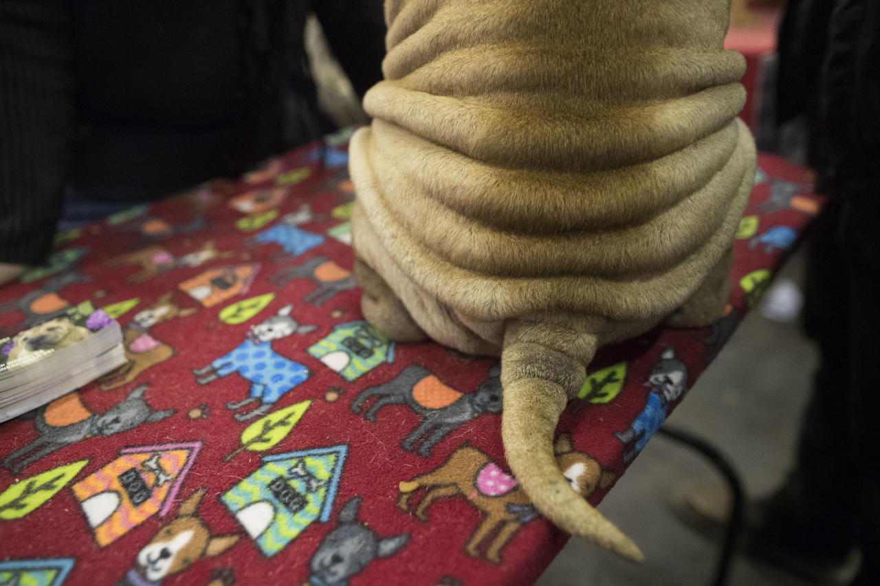 Glitter, a Chinese shar-pei, is shown during the meet the breeds companion event to the Westminster Kennel Club Dog Show, Saturday, Feb. 10, 2018, in New York. (AP Photo/Mary Altaffer)
