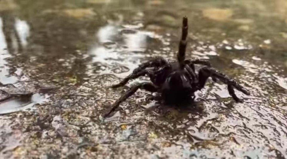 Experts warn of plague of dangerous funnel web spiders amid Australia floods