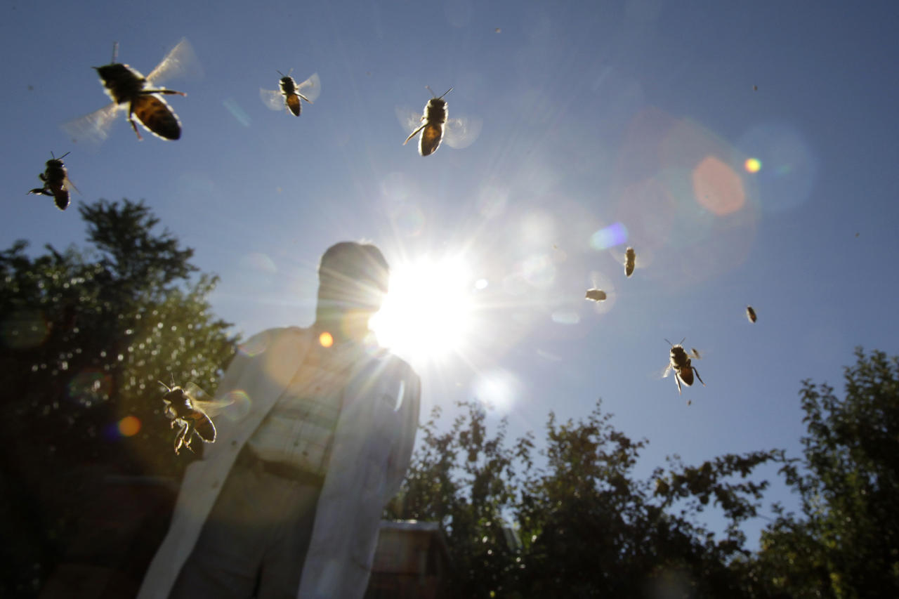 Bees fly next to a beekeeper at an apiary in Maria Pinto town, some 53 km northwest of Santiago April 18, 2011. The La Nina weather front in Chile is causing a decline in the country's bee population and the honey harvest has consequently fallen by some 60 to 70 percent, according Chile's National Beekeeping Association. Drought conditions alter the flowering patterns of plants, affecting the availability of nectar, which in turn makes survival harder for bees. Picture taken April 18, 2011.     REUTERS/Ivan Alvarado