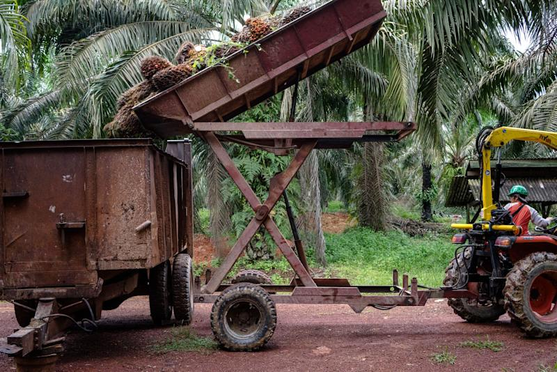 Polluting Palm-Oil Plantations Have Been Breaking Rules for Decades,Indonesia Finds