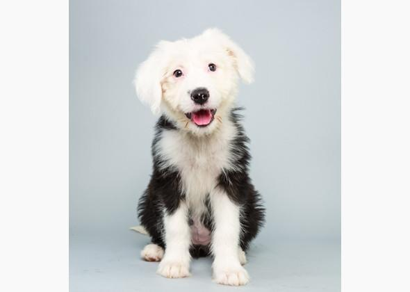"<div class=""caption-credit"">Photo by: Animal Planet</div><div class=""caption-title""></div>Ginger <p>  <b>Breed(s):</b> <a rel=""nofollow"" target="""" href=""http://www.vetstreet.com/dogs/english-sheepdog?WT.mc_id=cc_yahoo"">Old English Sheepdog</a> mix  <br>  <b>Sex:</b> Female  <br>  <b>Age:</b> 12 weeks  <br>  <b>Fun Fact:</b> Counting sheep automatically puts her to sleep.  <br>  <b>Adoption Organization:</b> <a rel=""nofollow"" href=""http://www.faycohumane.com/"" target=""_blank"">Fayette County Humane Society</a> </p>"