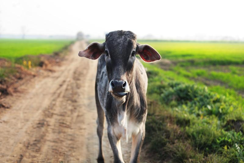 Cows are sacred in India: Getty Images/iStockphoto