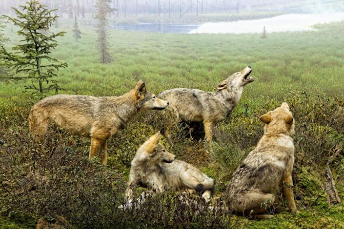 Wolf scene at the Algonquin Park Visitor Centre. Their real life friends were keeping us up at night in our tent.