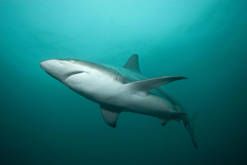 A blacktip shark is pictured swimming in the Indian Ocean.
