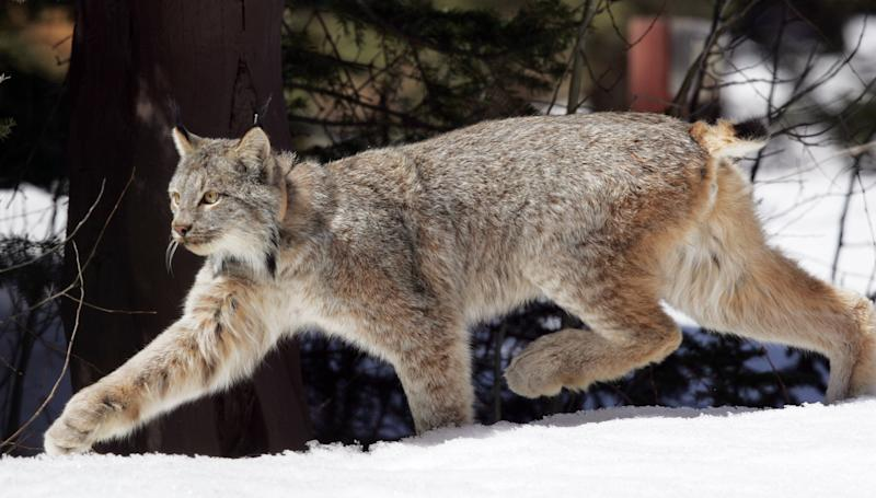 FILE - This April 2005 file photo shows a Canada lynx heading into the Rio Grande National Forest near Creede, Colo. Wildlife advocates have asked a federal court to force the government to come up with a recovery plan for Canada lynx 13 years after the snow-loving wild cats were declared a threatened species, according to a lawsuit filed Thursday March 14, 2013.  (AP Photo/David Zalubowski, file)