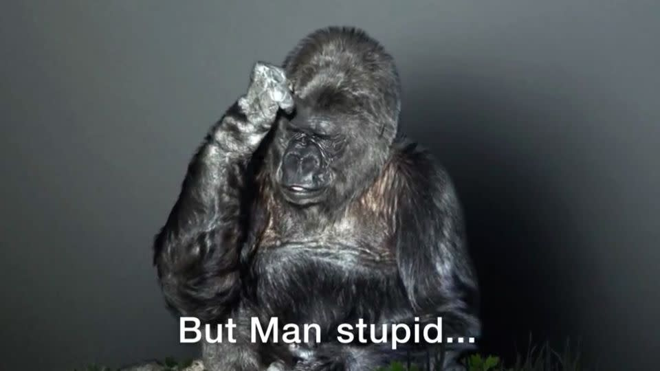 'Man stupid' says Koko, during the video for climate change. Photo: The Gorilla Foundation