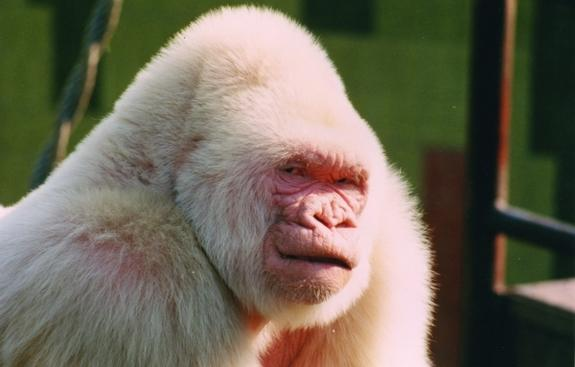 Snowflake the albino gorilla at the Barcelona Zoo. Snowflake died of skin cancer in 2003.
