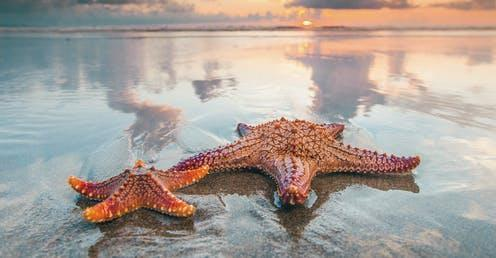 "<span class=""caption"">Starfish are one of the most recognisable animals on our planet. </span> <span class=""attribution""><a class=""link rapid-noclick-resp"" href=""https://www.shutterstock.com/image-photo/two-starfish-on-sea-beach-sunset-524421913"" rel=""nofollow noopener"" target=""_blank"" data-ylk=""slk:Yellowj/shutterstock.com"">Yellowj/shutterstock.com</a></span>"