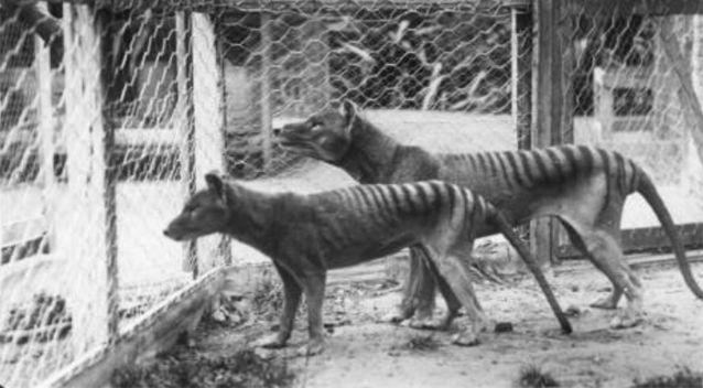 The last known Tasmanian Tiger died at Hobart Zoo in 1936. Source: AFP