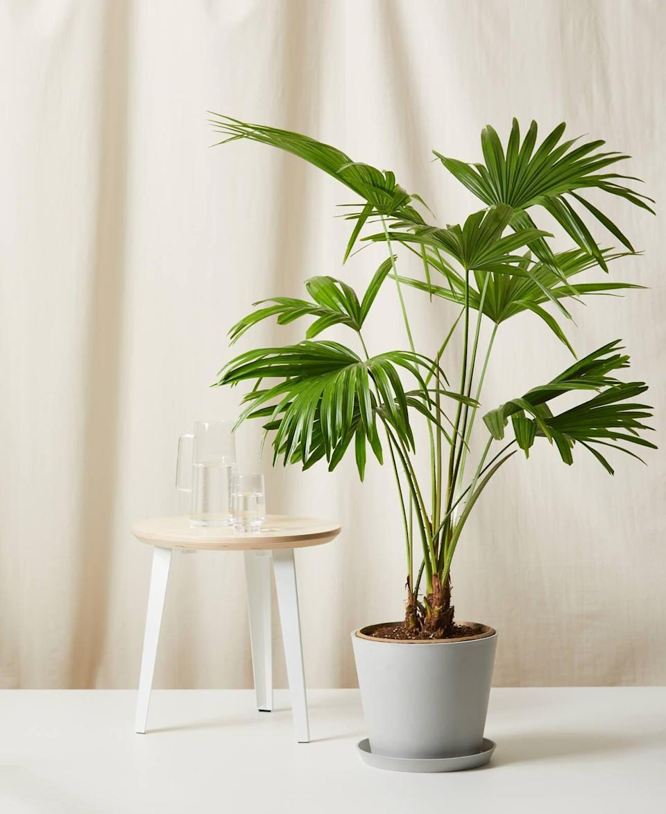 <p>This <span>Bloomscape Chinese Fan Palm Indoor Plant</span> ($195) will turn your living room into a tropical escape.</p>