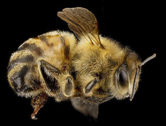 A honey bee, <i>Apis mellifera</i>. This bee was collected in Beltsville, Md.
