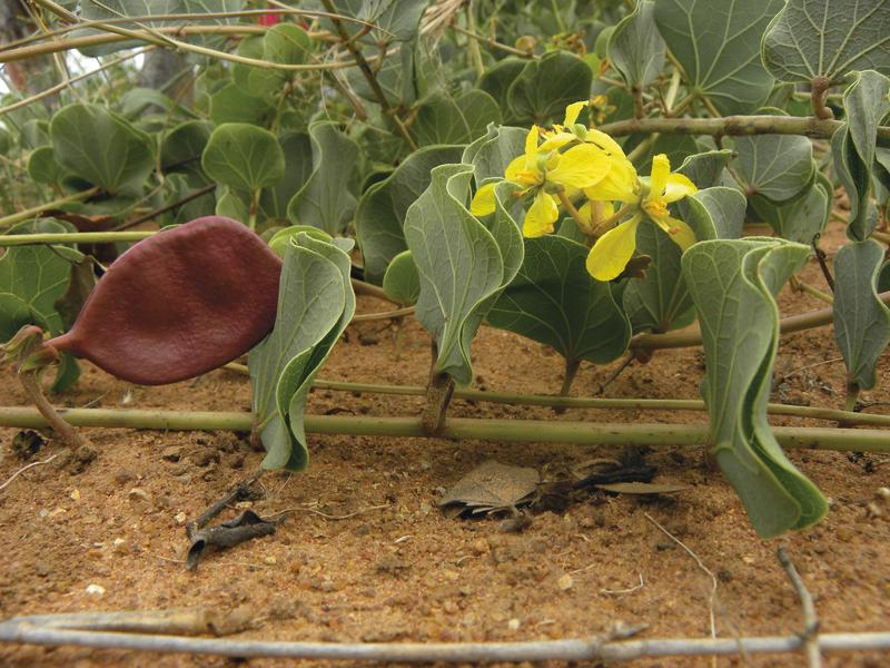 Morama bean, a drought-tolerant South African legume could be a future food (RBG Kew)