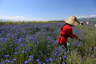 Demand for medicinal plants such as cornflower is blossoming amid the coronavirus pandemic